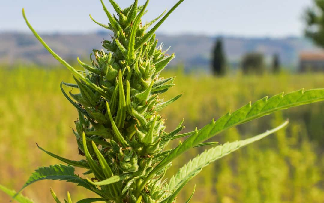 Hemp crops to come to NT, but won't get you high