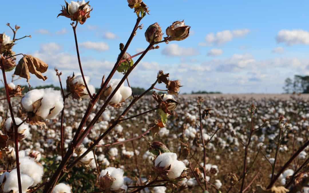 The NT is looking at developing a cotton industry, but environmental groups aren't sold